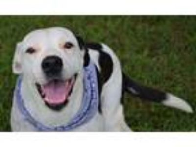 Adopt Cagney a Black - with White American Pit Bull Terrier / Mixed dog in