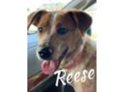Adopt Reece a Australian Cattle Dog / Blue Heeler