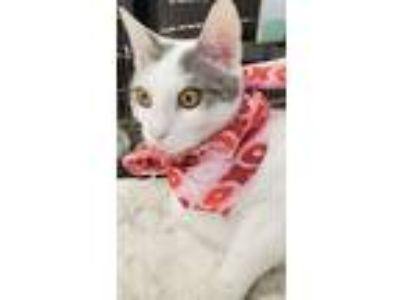 Adopt PRISCILLA a White (Mostly) Domestic Shorthair (short coat) cat in Clayton