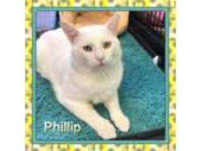 Adopt Phillip a White Domestic Shorthair (short coat) cat in Atco, NJ (24269818)