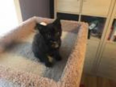 Adopt Athena a Domestic Medium Hair