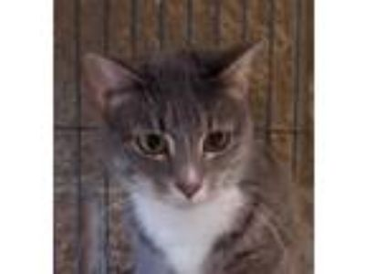 Adopt Darcy a Gray or Blue Domestic Shorthair / Domestic Shorthair / Mixed cat