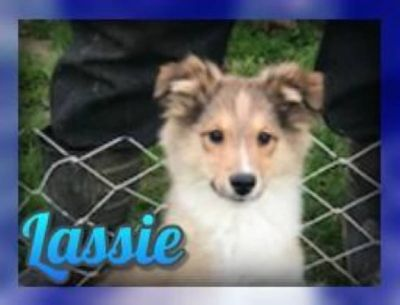Lassie Female Aussie Sheltie Mix