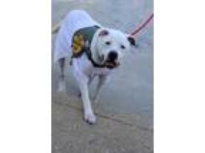 Adopt Spike a White American Pit Bull Terrier / Mixed dog in Hamilton