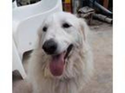 Adopt Diamond a White Great Pyrenees / Mixed dog in Spring, TX (25466404)