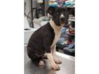 Adopt ADELE a Black American Pit Bull Terrier / Mixed dog in Clinton