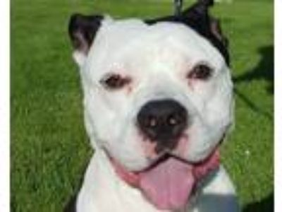 Adopt Handsome a White - with Black American Staffordshire Terrier / Mixed dog