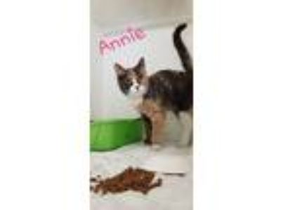 Adopt ANNIE a Domestic Short Hair