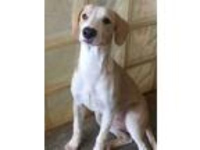 Adopt Alani a Tan/Yellow/Fawn Labrador Retriever / Mixed dog in Lihue