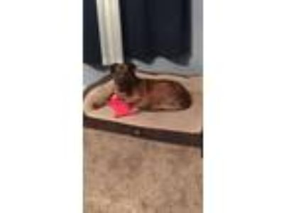 Adopt Beedle a Mountain Cur, Mixed Breed