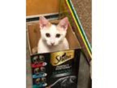Adopt Penny - Petsmart a Domestic Short Hair