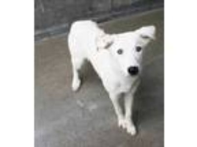 Adopt Baxter a White Australian Cattle Dog / Mixed dog in Philadelphia