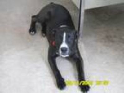 Adopt Oreo 6 Month Old Shy Great Family Puppy a Labrador Retriever / Terrier