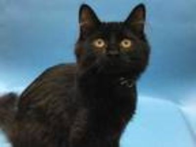 Adopt Cammy a All Black Domestic Mediumhair / Mixed cat in Coon Rapids