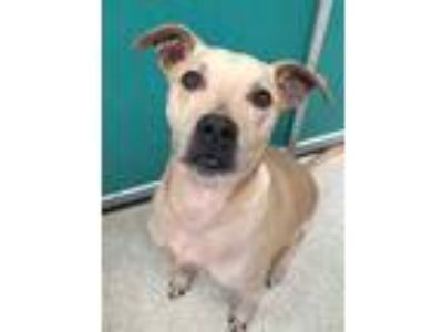Adopt Bongo a Tan/Yellow/Fawn American Pit Bull Terrier / Black Mouth Cur /