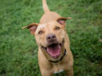 Adopt ATHENA a Brown/Chocolate - with White Labrador Retriever / Mixed dog in