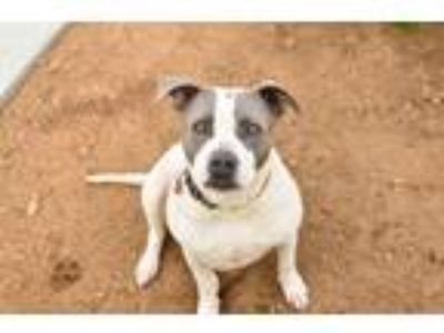 Adopt Marshmallow a Pit Bull Terrier