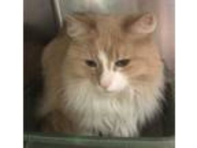 Adopt Blondie a Tan or Fawn Domestic Mediumhair / Domestic Shorthair / Mixed cat