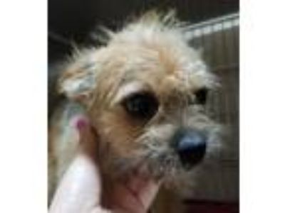 Adopt Donnie a Cairn Terrier, Mixed Breed