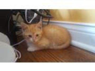 Adopt Cleo - Staples kitten a Domestic Short Hair