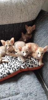 Savannah X Oriental Shorthaired Female Kitten Last Kitten!!!