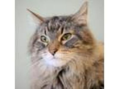 Adopt Zoe a Maine Coon, Tabby