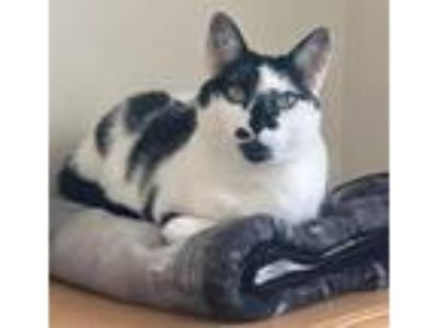Adopt Lily Rose a Black & White or Tuxedo Domestic Shorthair (short coat) cat in