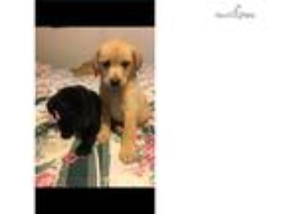 $550.***Quality yellow male and female puppy!