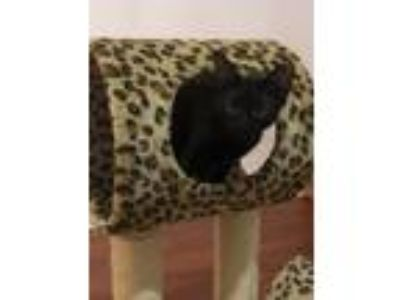 Adopt Moonshadow Quinton a All Black Domestic Shorthair / Mixed cat in Dallas