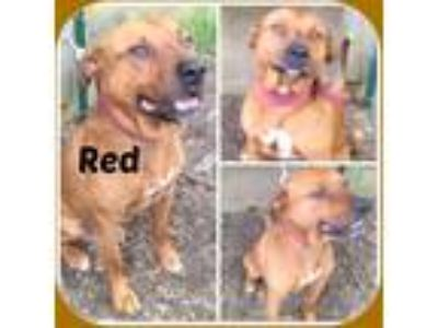 Adopt RED a Red/Golden/Orange/Chestnut Staffordshire Bull Terrier / Mixed dog in