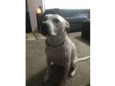 Adopt Lucy a White - with Brown or Chocolate American Pit Bull Terrier / Irish