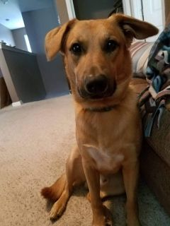 German Shepherd Mix Looking for a Home