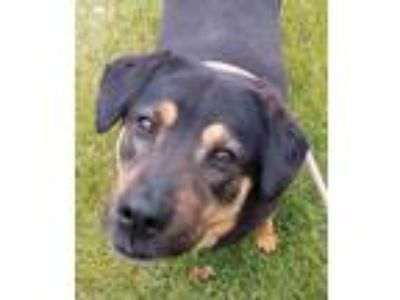 Adopt Mya a Black Rottweiler / Mixed dog in West Allis, WI (25023997)
