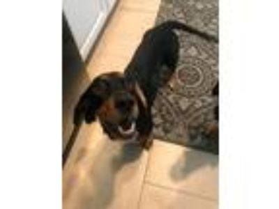 Adopt Blossom a Black - with Tan, Yellow or Fawn Dachshund / Basset Hound /
