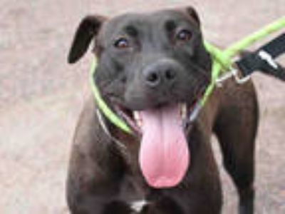 Adopt *PAULA a Brown/Chocolate - with White American Pit Bull Terrier / Mixed