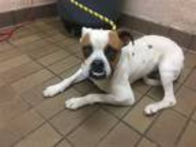 Adopt Ross a Boxer / Mixed dog in Birmingham, AL (25614160)