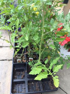 Cherry tomatoes plants $1.00 each! (12 available)