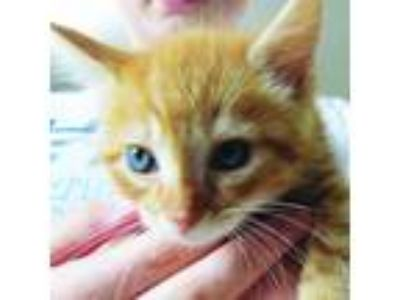 Adopt Zigzig a Orange or Red Domestic Shorthair / Mixed (short coat) cat in