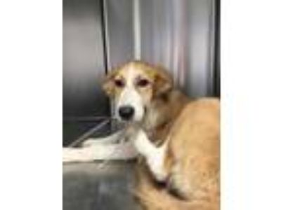 Adopt Duck a Tan/Yellow/Fawn Whippet / Shepherd (Unknown Type) / Mixed dog in