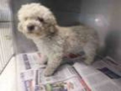 Adopt MILLER a Poodle, Mixed Breed