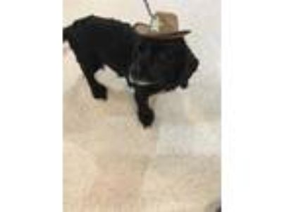 Adopt CHARLES a Black Cocker Spaniel / Mixed dog in Apache Junction
