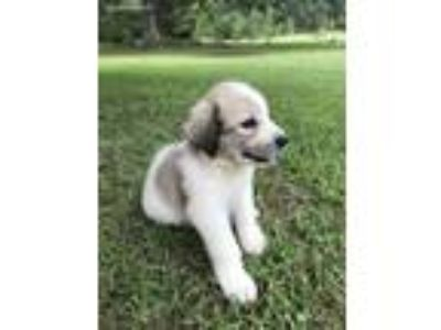 Puppy - For Sale Classifieds in Trussville, Alabama - Claz org
