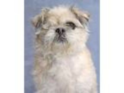 Adopt Winky a Tan/Yellow/Fawn - with White Brussels Griffon / Shih Tzu / Mixed