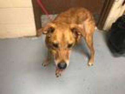 Adopt *BABS a Tan/Yellow/Fawn - with Black German Shepherd Dog / Mixed dog in