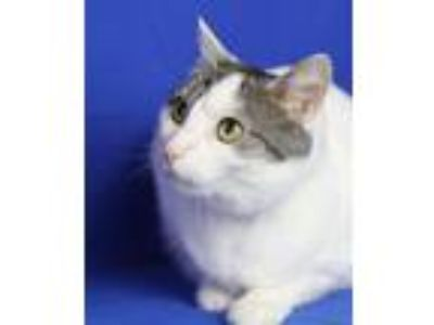 Adopt Shelby a White (Mostly) Domestic Shorthair (short coat) cat in
