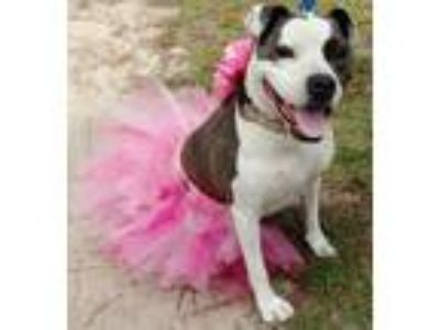 Adopt Nancy a White - with Gray or Silver American Pit Bull Terrier / Mixed dog