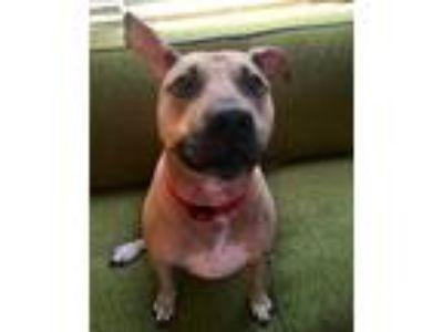 Adopt Hank a Tan/Yellow/Fawn American Pit Bull Terrier dog in Orlando