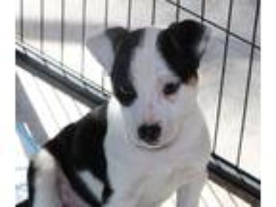 Adopt Violet LS a White - with Black Pit Bull Terrier / Mixed dog in Richfield