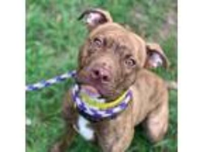 Adopt Woody a Red/Golden/Orange/Chestnut American Pit Bull Terrier / Mixed dog