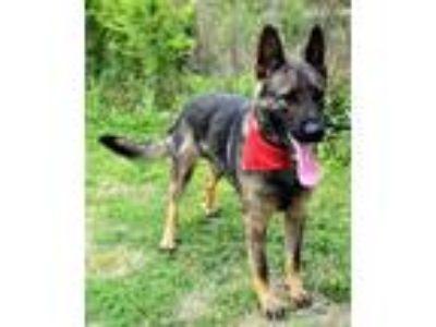 Adopt Thanos a German Shepherd Dog